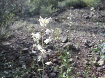 http://www.arizonensis.org/sonoran/fieldguide/plantae/streptanthus_carinatus.html