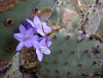 Brodiaea amongst the prickly pear.