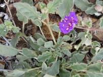 http://www.arizonensis.org/sonoran/fieldguide/plantae/nama_demissum.html