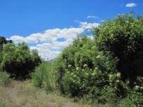 Elderberries along the trail.