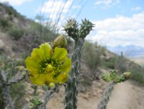 Colors of the cholla: yellow.