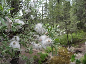 Fluff on the willows in Marshall Gulch.