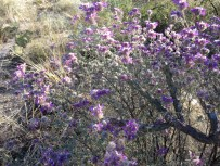Dalea growing around cholla.