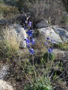 Also known as larkspur.