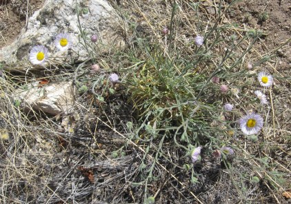 Six species of Erigeron on Mt Lemmon.