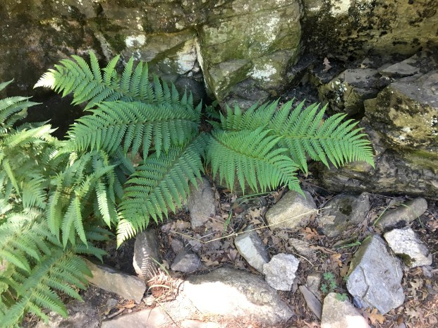 One of the ferns at the foot of the fern wall.