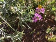 Filaree or Erodium cicutarium.