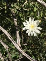 Rafinesquia or desert chicory.
