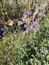 Blue phacelia (I think).