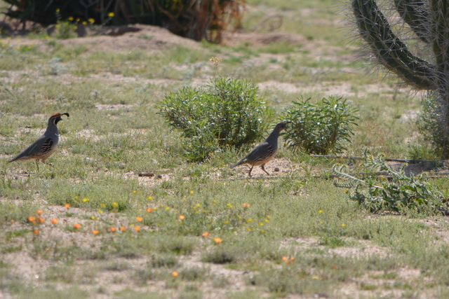 Gambel's Quail walking in desert garden.