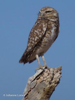 Burrowing Owl on Lookout