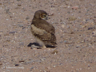 Burrowing Owl Baby - I can look to the back!