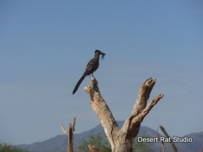 Roadrunner with Food