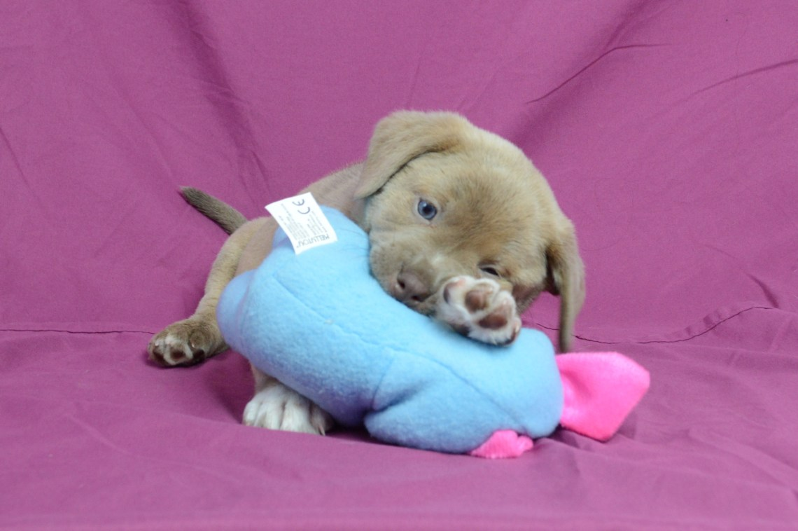 puppy chewing on a stuffed toy