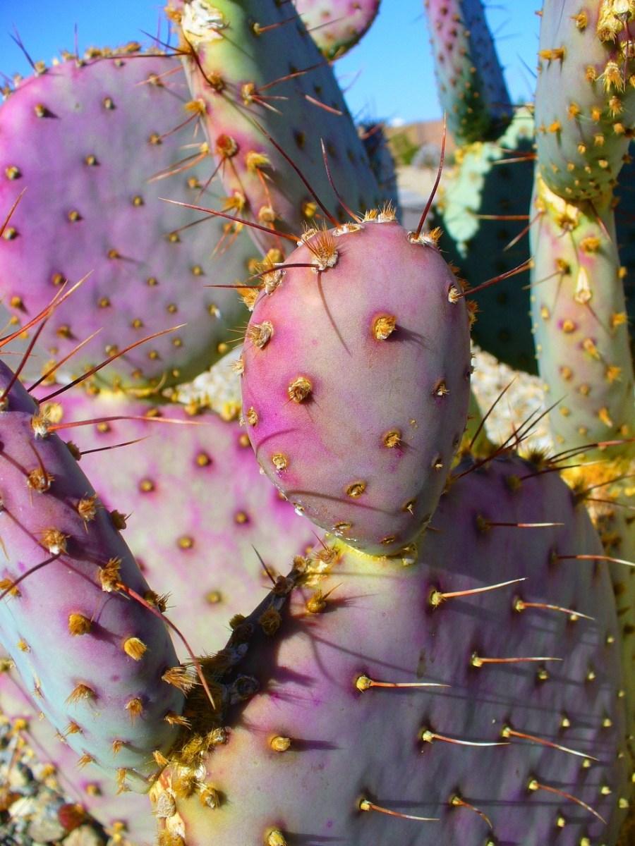 Flat Cacti Prickly Pear And Cholla Arizona Desert Xeriscape