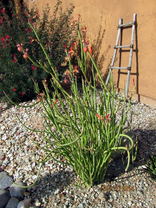 grasses arizona desert xeriscape
