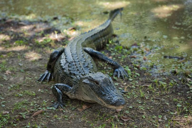 Alligator Smiling
