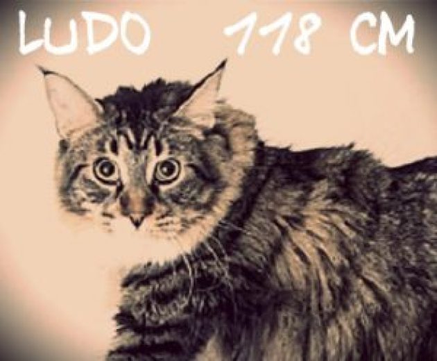 Ludo le chat le plus grand du monde le plus grand chat du monde chat marrant chat drôle chat rigolo