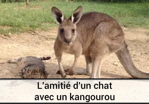 L 39 amiti d 39 un chat avec un kangourou en australie des - Photo de chaton rigolo ...