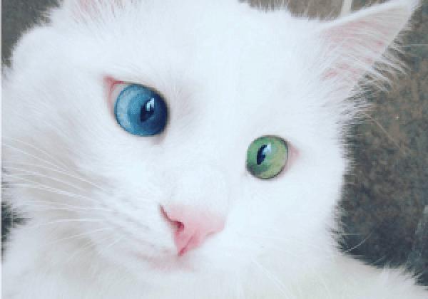 alos-chat-yeux-vairons-chat-vairon-yeu-vairon-chat-yeux-bleus-chat-blanc-sourd-chat-aux-yeux-bleus-les-yeux-vairons-chat-blanc-oeil-vairon-yeux-veron-vairon