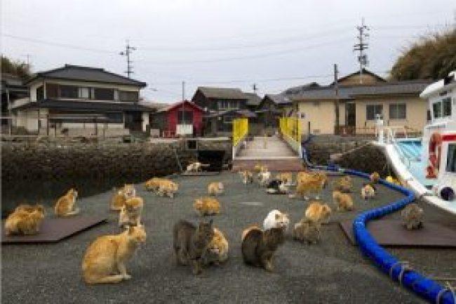 Aoshima île aux chats japon chat drôle marrant rigolo chaton