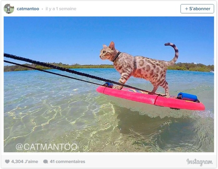 Boomer the Skimboarding CAT le chat qui fait du skimboard chat drôle chat marrant chat rigolo chaton chat léopard chat leopard chat bengal prix chat du bengal prix chaton bengal chat du bingal