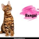 Le chat Bengal aussi appelé chat léopard