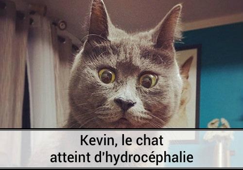 Kevin le chat atteint d hydroc phalie des hommes et des - Photo de chaton rigolo ...