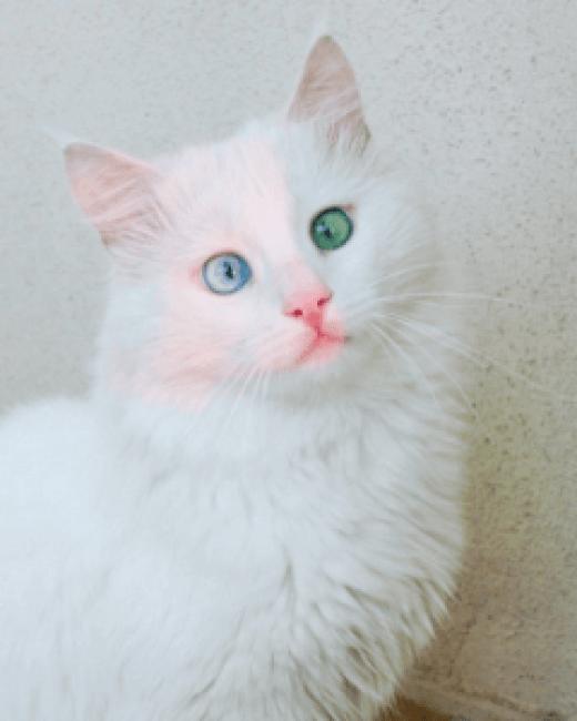 yeux-vairons-chat-yeux-de-couleur-differente-david-bowie-yeux-couleur-vairon-yeux-bicolore-oeil-de-couleur-differente-hyeux-verron-yeux-de-deux-couleurs