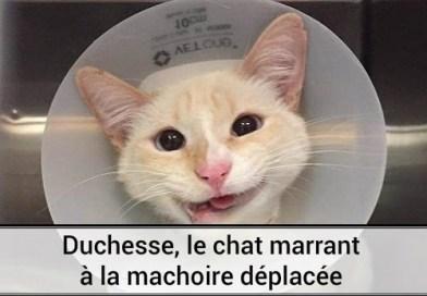 Duchesse, le chat marrant à la mâchoire déplacée