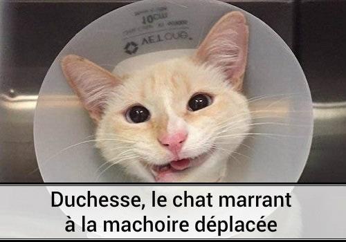 Duchesse le chat marrant la m choire d plac e des hommes et des chats - Photo chat mignon ...