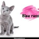 Le chat Bleu russe