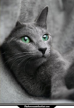 Photo de chat russe chat bleu russe prix chat de race de chat photo chat image chat rigolo chat - Photo chat marrant ...