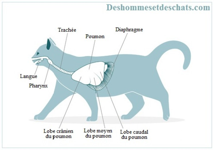 anatomie-chat-femelle-anatomie-du-chat-male-anatomie-des-chats-systeme-respiratoire-chat-trachee-poumon-animal-chat-anatomie-coryza-chat-photo-animaux