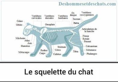 Informations sur le squelette du chat
