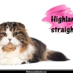 Le chat Highland Straight