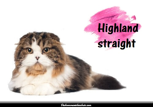 highland straight british chat de race chaton british chat
