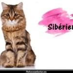 Le Sibérien également appelé chat de Sibérie