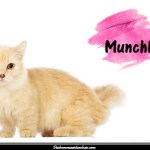Le Munchkin, une race de chat miniature