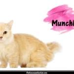 Le Munchkin, une race de chat miniature