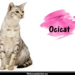 L'Ocicat