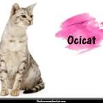 L'Ocicat