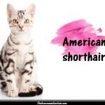 L'American shorthair