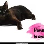 Le Havana brown
