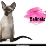 Le Balinais