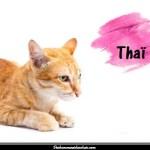 Le chat Thaï