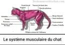 L'anatomie musculaire du chat