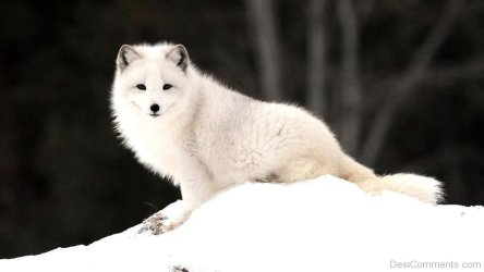 fox arctic wallpapers animal desicomments