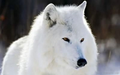 wolf arctic wallpapers closeup animal polarwolf hd desicomments forwallpapercom animals wallpapersafari cave vektorgrafik