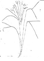 Yucca drawn with yarn on PVA glue scanned in Black and white ,medium dark